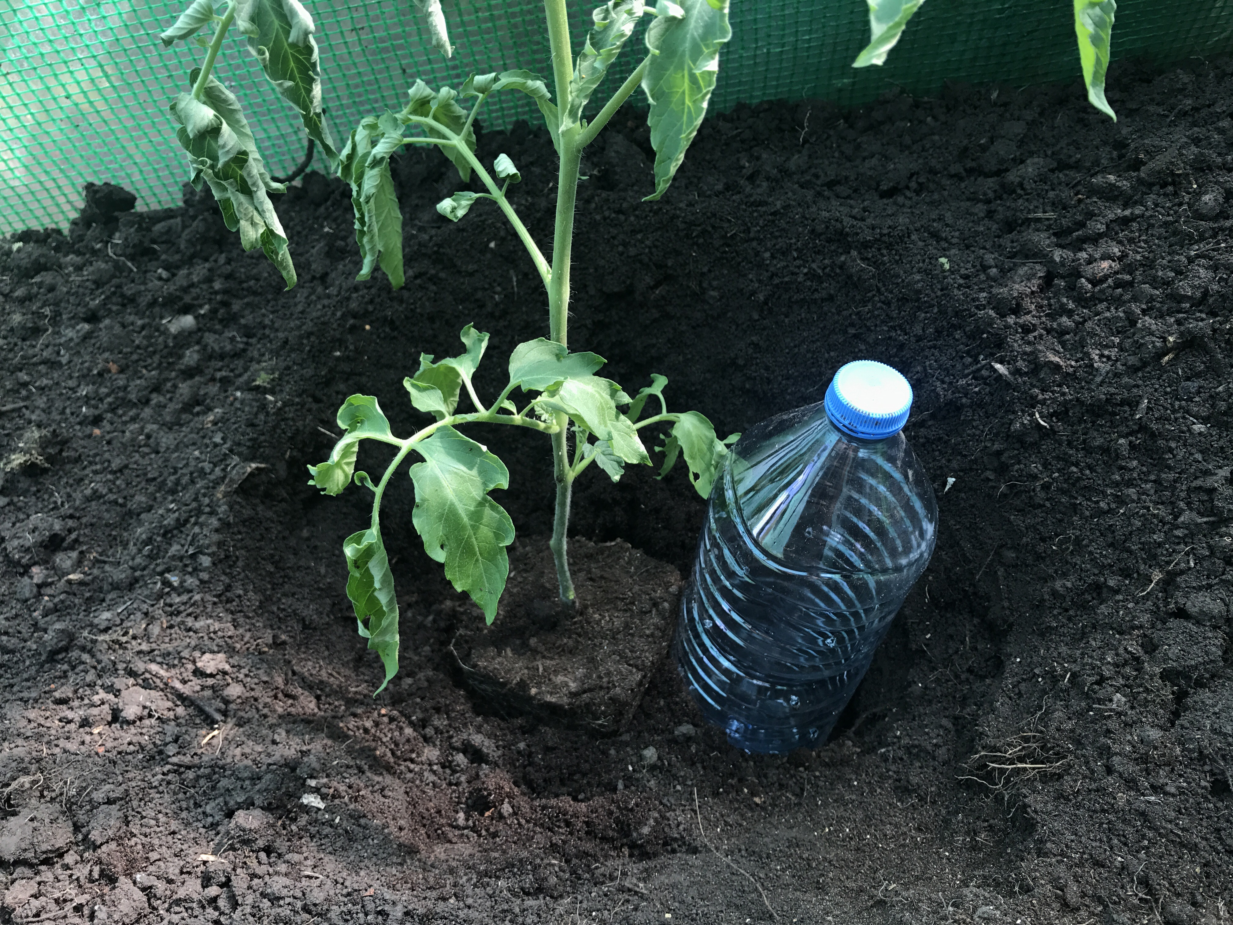 i had to remove a few leaves from the tomato plant but thats ok the deeper you plant it the more roots will grow of the stem giving you a stronger plant