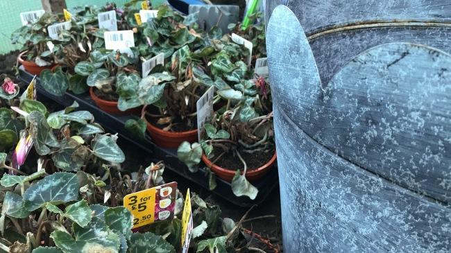Cyclamen, pansy flowers & planter