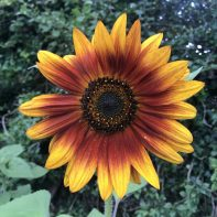 Sunflower 'Autumn Beauty'