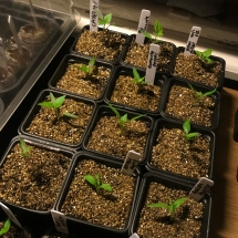 Growing chilli plants