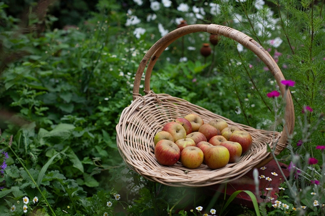 Homegrown Egremont Russet apples on the allotment in a basket.